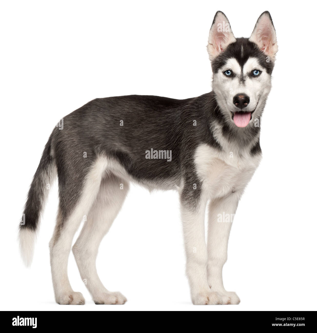 Siberian Husky puppy, 4 months old, standing in front of white background - Stock Image