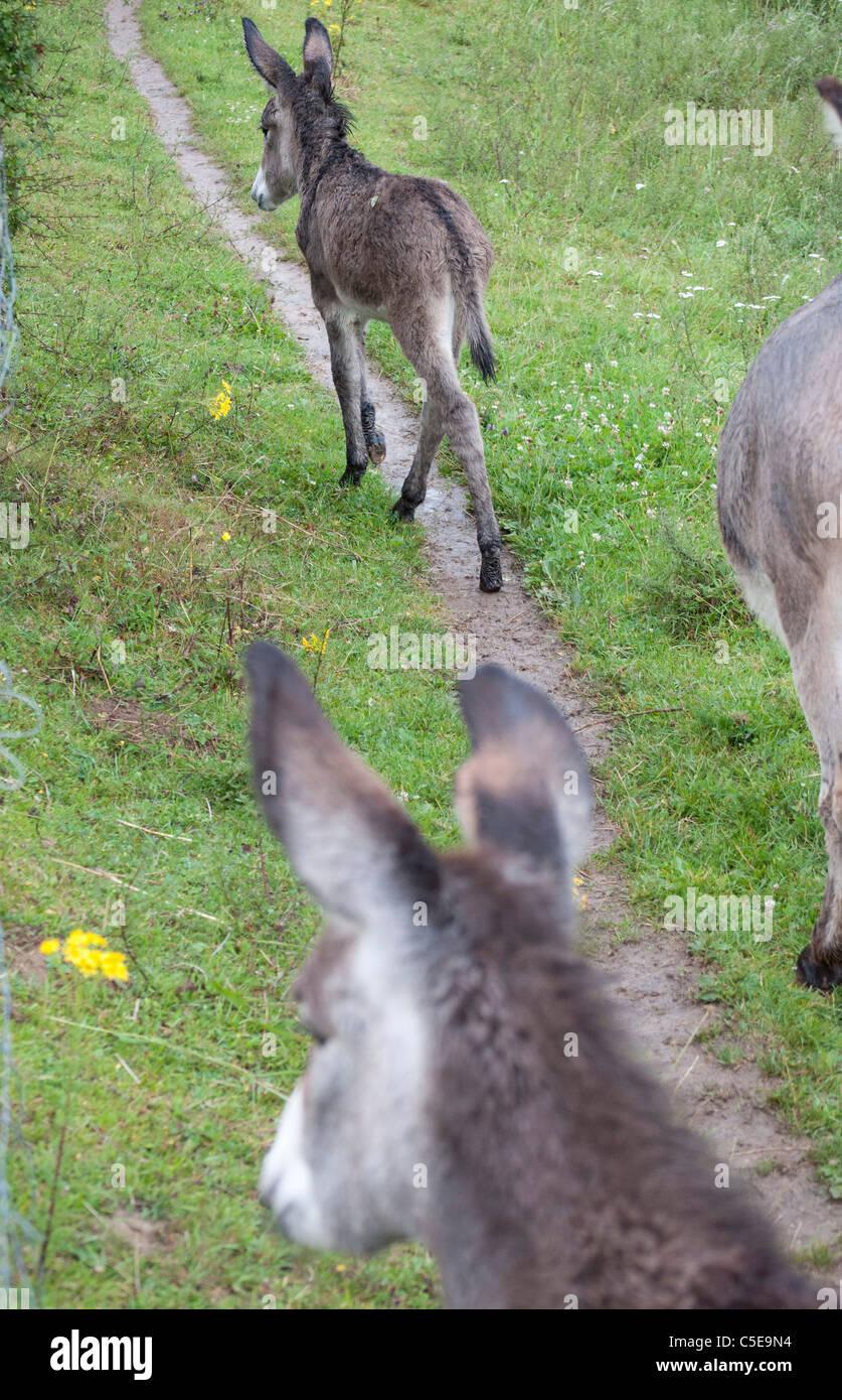 anes et anon donkey - Stock Image