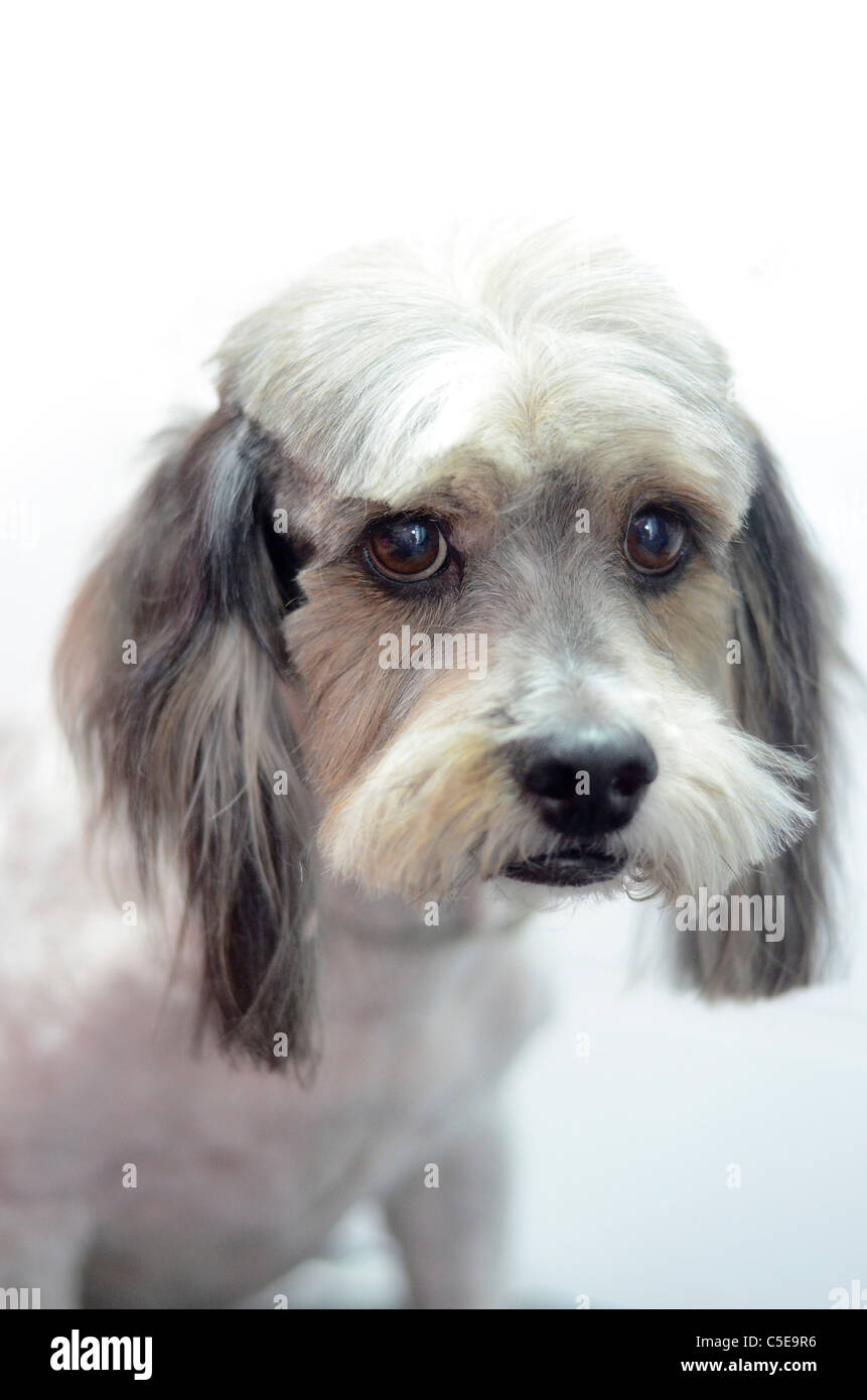 Mixed-breed Dog after a haircut - Stock Image