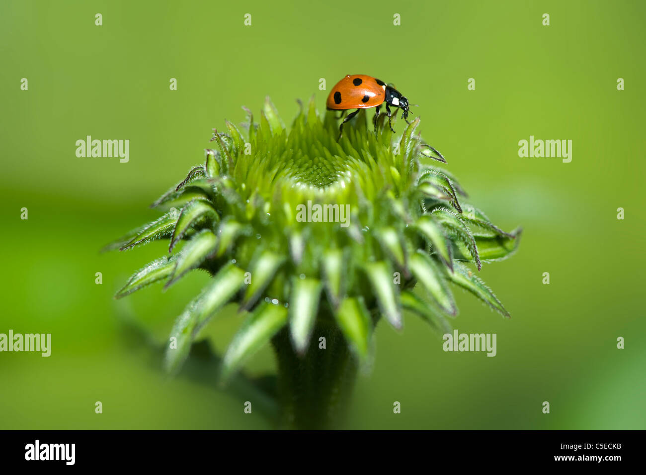 Close-up image of a Seven-spot Ladybird - Coccinella septempunctata on the bud of a purple coneflower - Echinacea - Stock Image