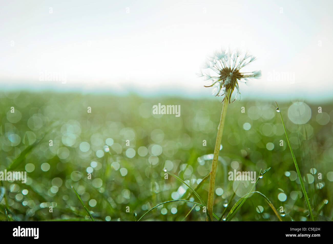 Dandelion flower in morning dew grass - Stock Image