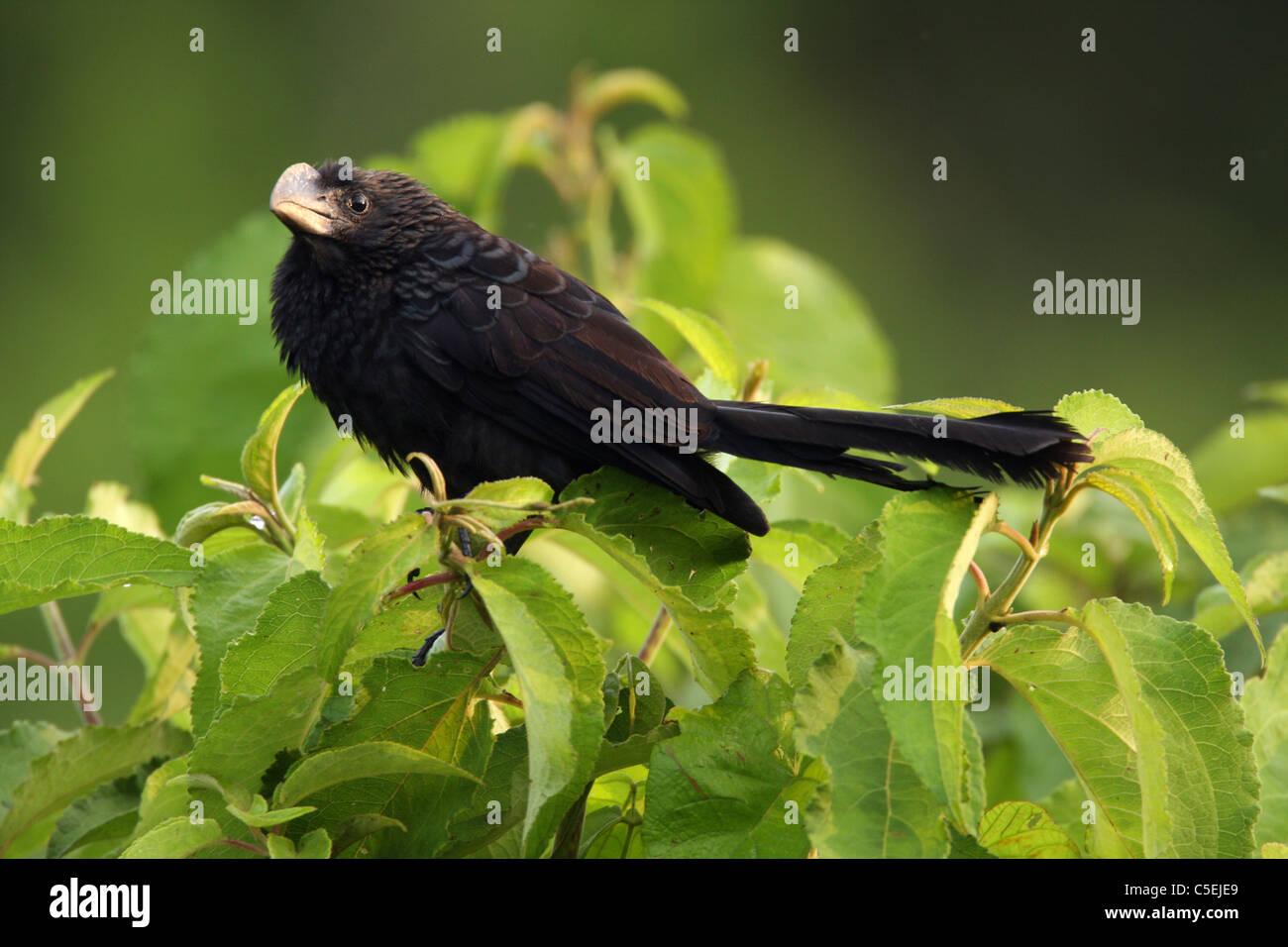Smooth-billed Ani, Crotophaga ani, Darien National Park, Panama. - Stock Image