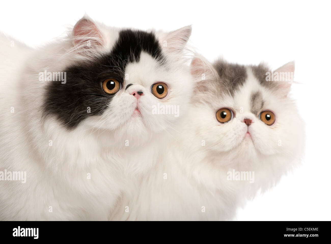 Persian cats, 6 months old, in front of white background Stock Photo