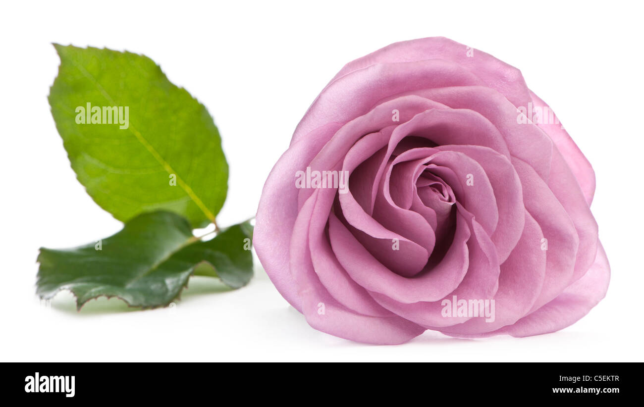 Rosa aqua rose in front of white background - Stock Image