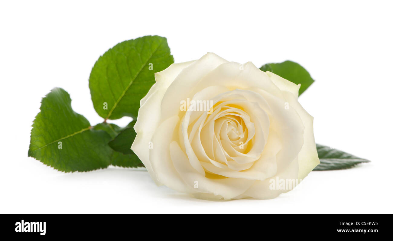 A single white Rose lying down on a white background, Family Rose Avalanche - Stock Image