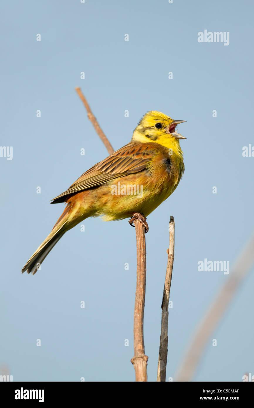 Yellowhammer; Emberiza citrinella; male; singing; Scotland - Stock Image