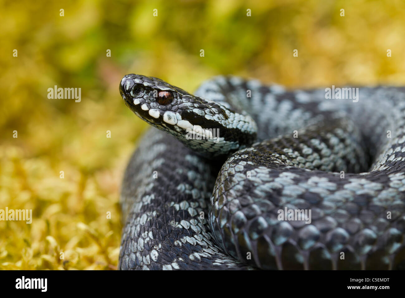 Common European adder / viper (Vipera berus) curled up in striking pose, grey color phase, Sweden - Stock Image