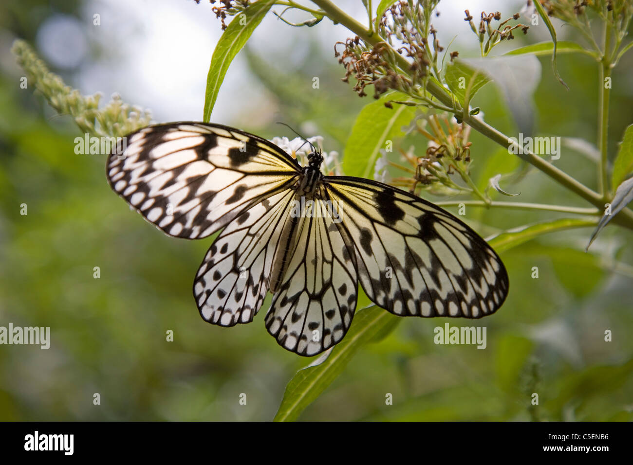 White tree nymph butterfly, Idea leuconoe, common to Malaysia - Stock Image