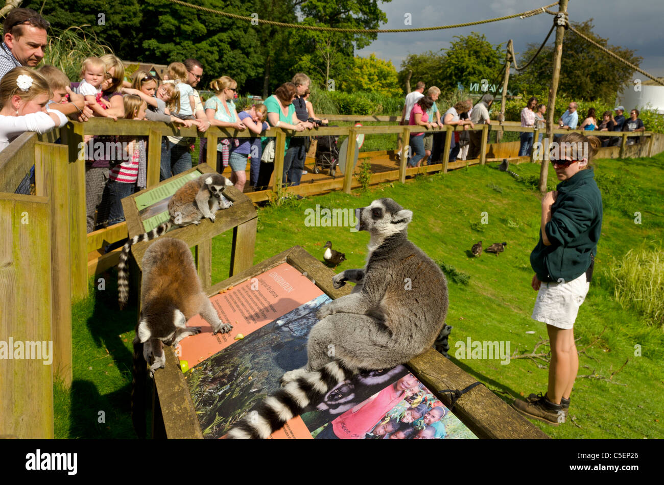 Ring-Tailed Lemurs at Whipsnade Wild Animal Park, England, Great Britain, UK - Stock Image