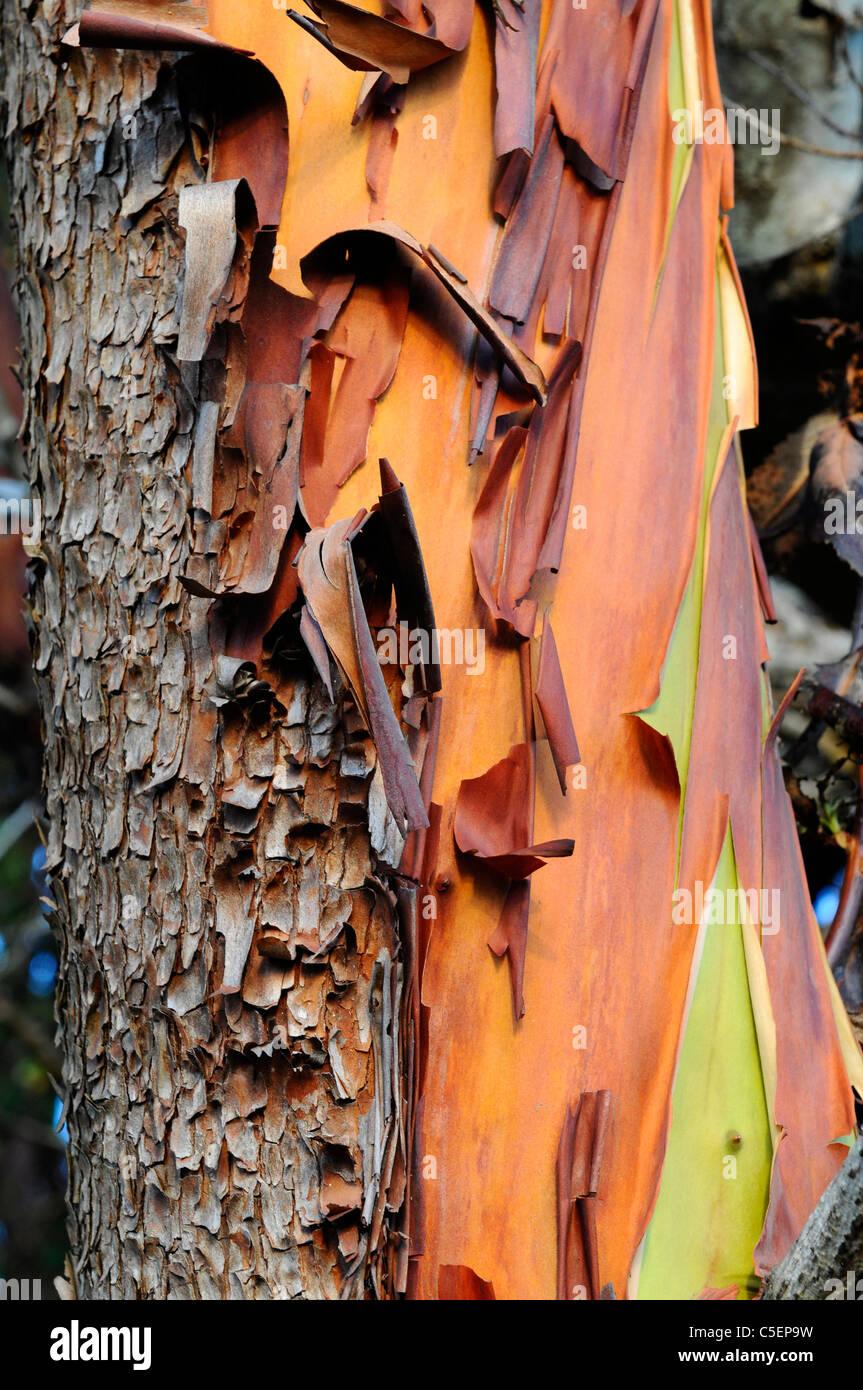 Colorful tree bark San Juan Island Puget Sound Washington State Stock Photo