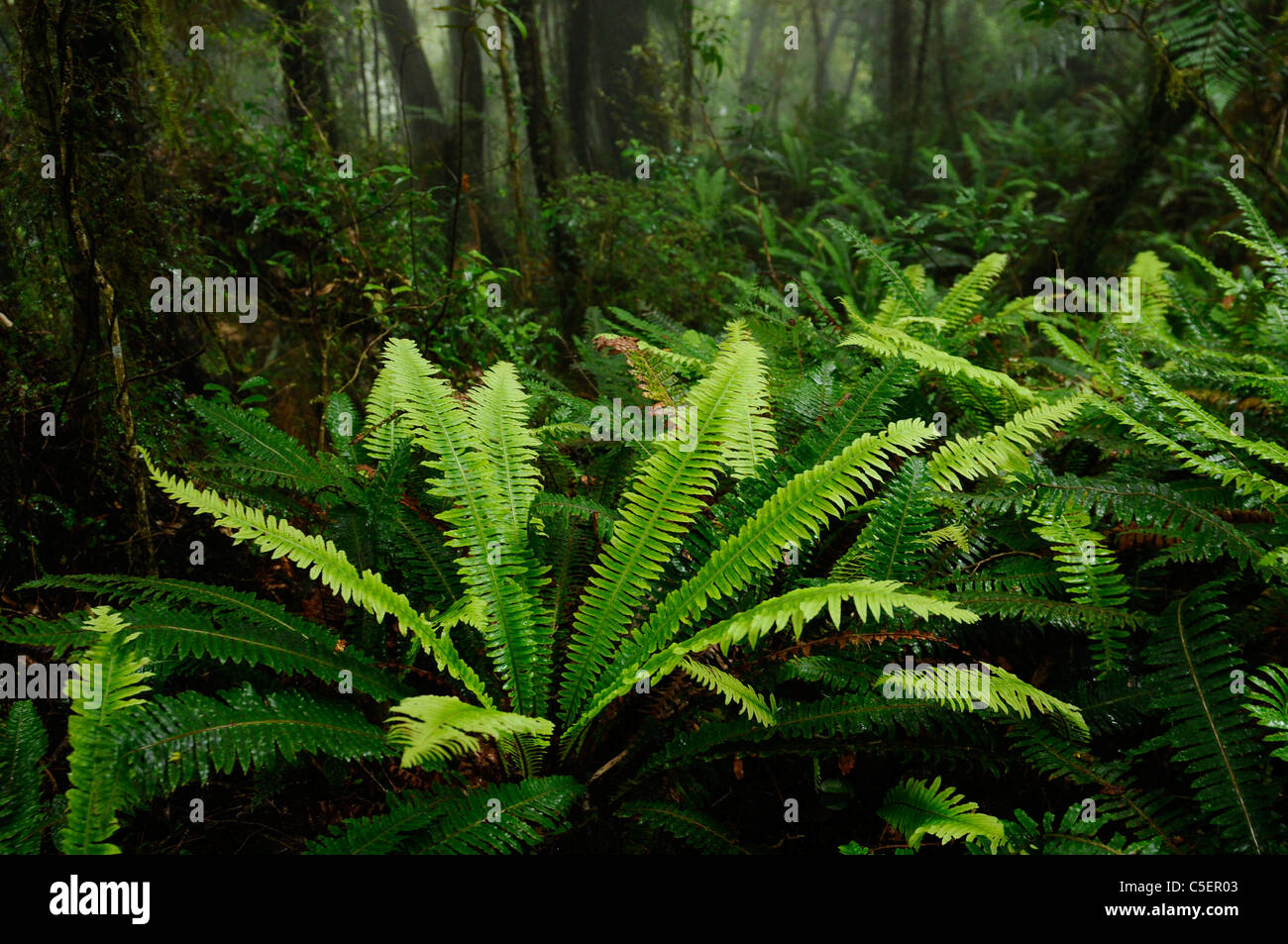 Rain forest ferns and trees in green Whataroa West Coast South Island New Zealand Stock Photo