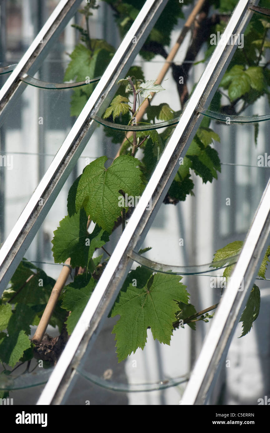 Vitis vinifera, Grape Vine, growing in The Vinery at The Lost Gardens of Heligan in Cornwall, England, United Kingdom Stock Photo