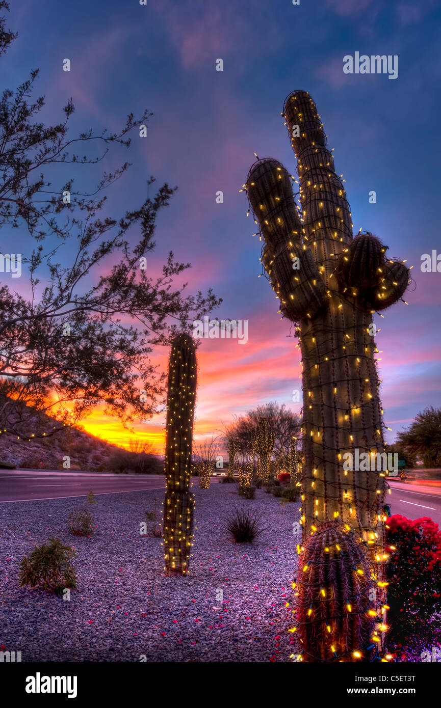 These huge Saguaro Cactus have been covered in Christmas lights for the Christmas season in Phoenix, AZ Stock Photo