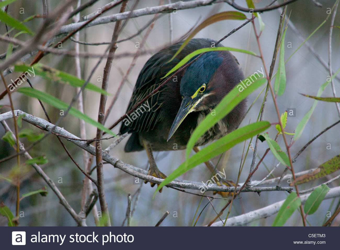 A green heron (Butorides virescens) hunts from a small branch over shallow water in the Florida Everglades. - Stock Image