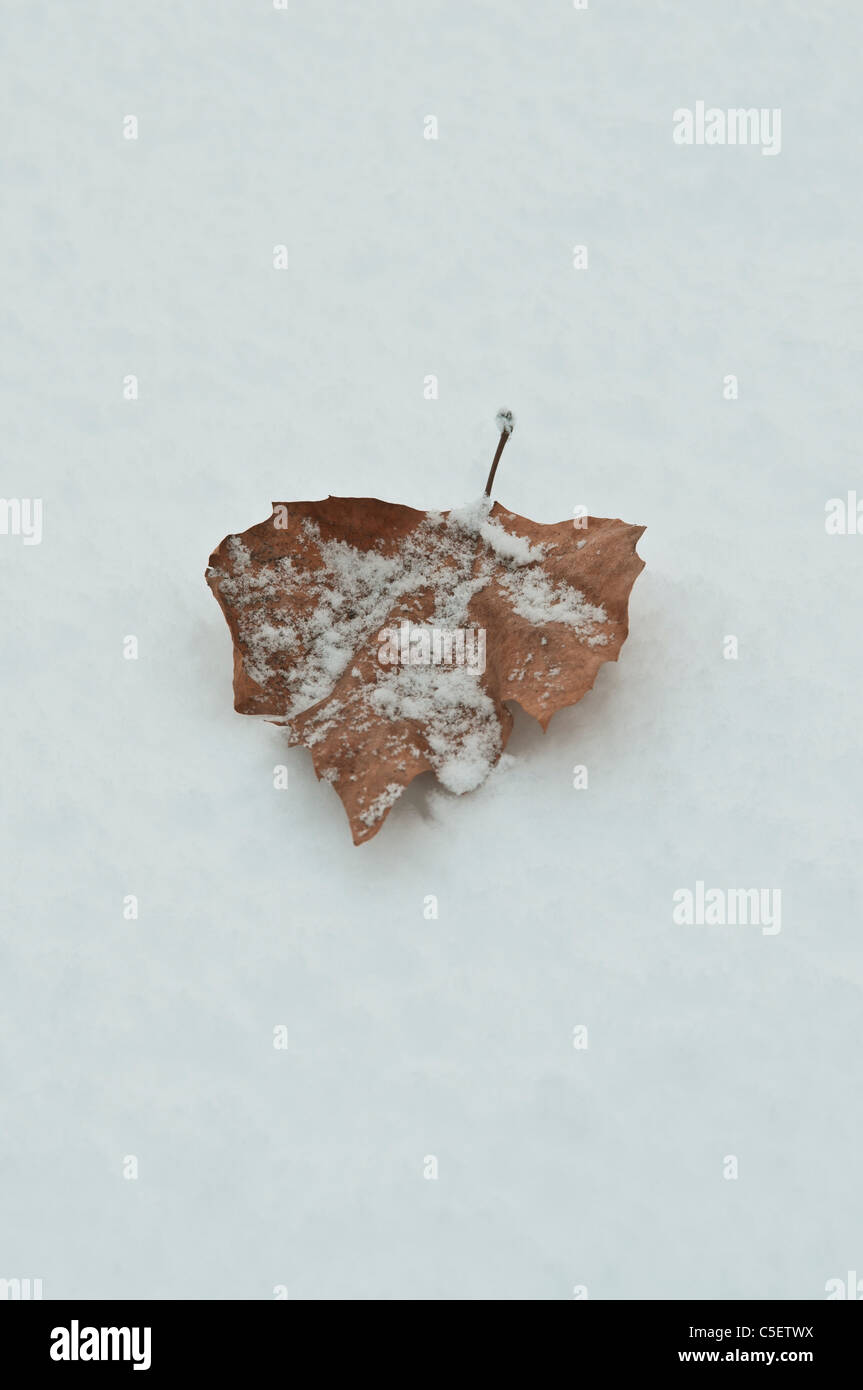 Leaf covered with snow - Stock Image