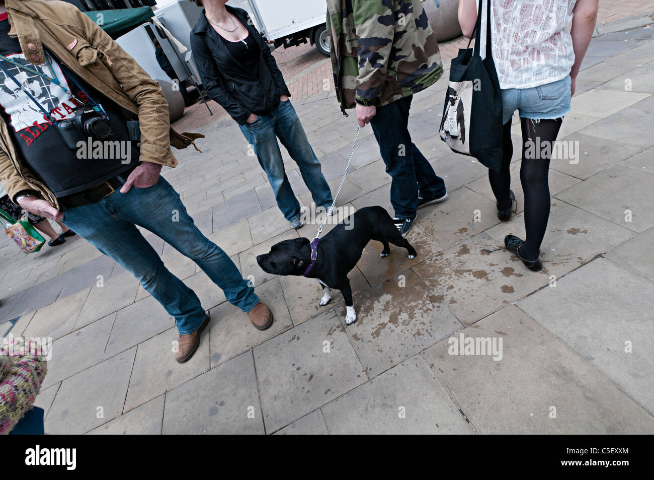 Staffordshire Bull Terrier dog with group standing in street - Stock Image