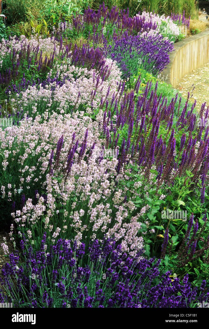 Purple Border Raised Bed Lavender Lavandula Garden Plant Plants