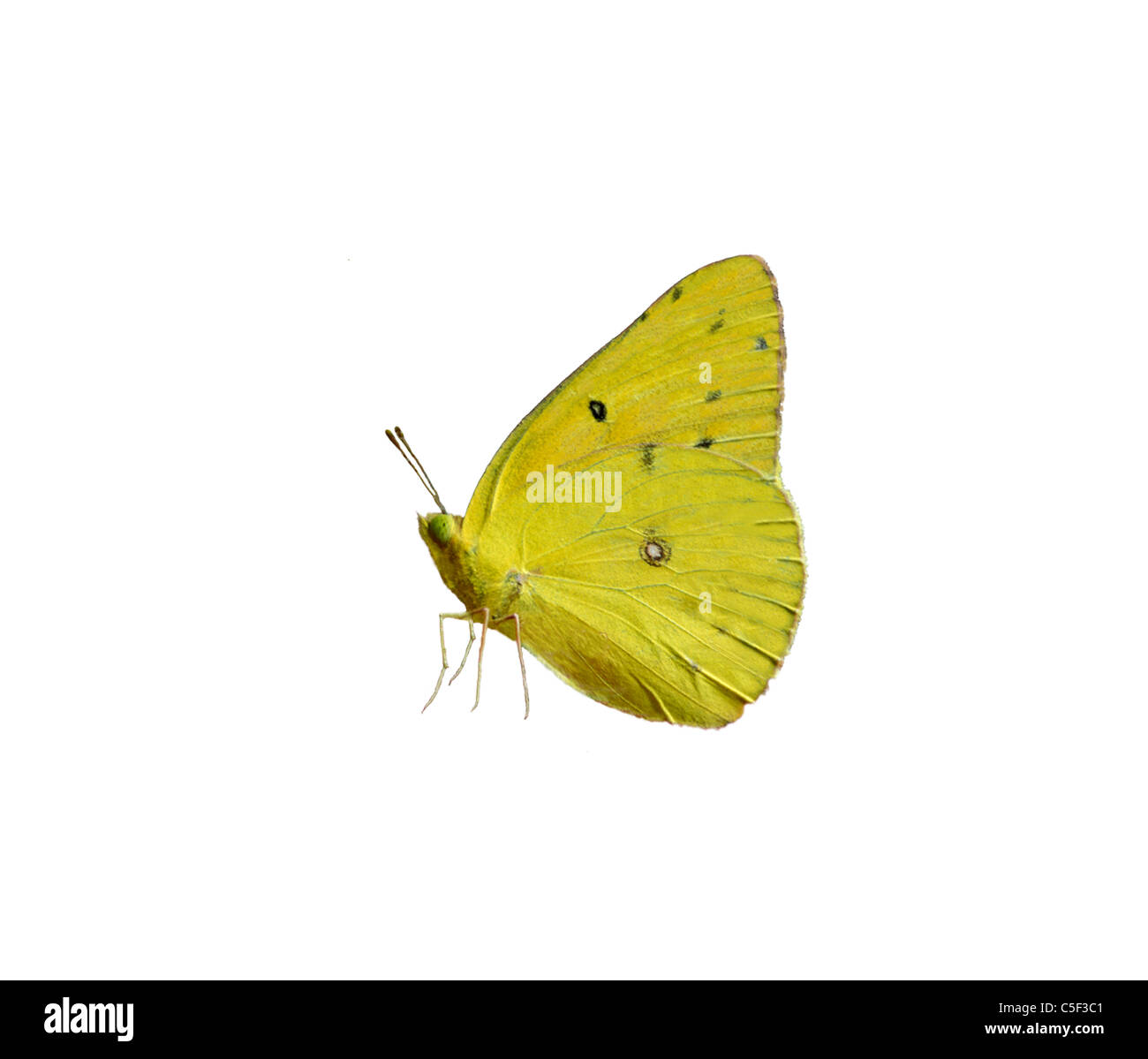 Profile of a Cloudless Sulphur butterfly - Stock Image