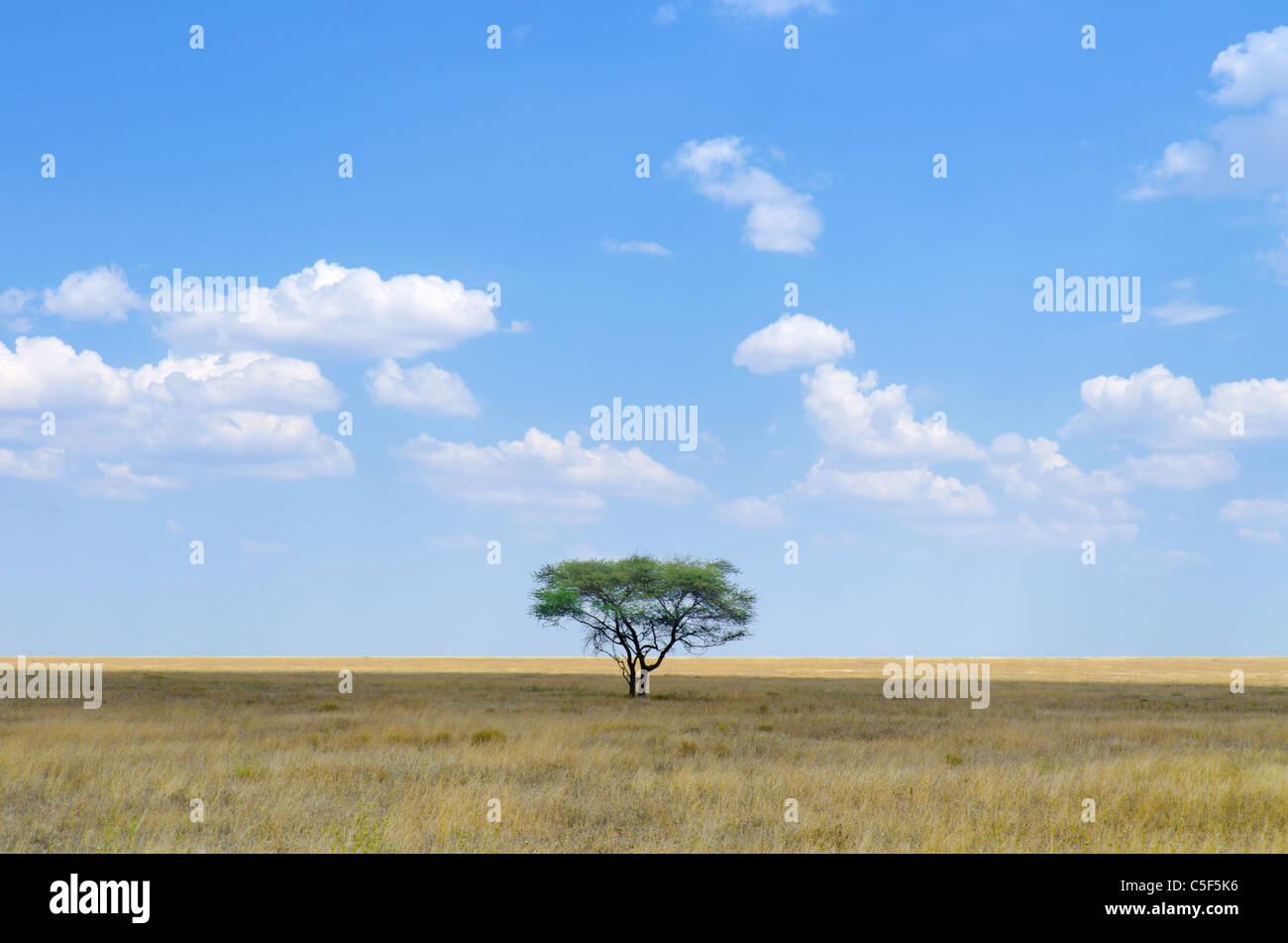 A shot of Acacia Tree in Serengeti National Park, Tanzania - Stock Image