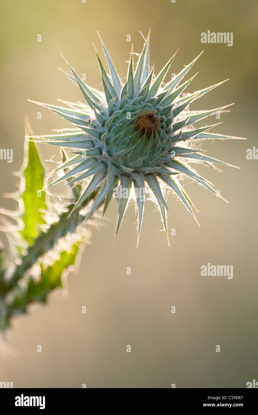 Milk Thistle plant with blurred natural background - Stock Image