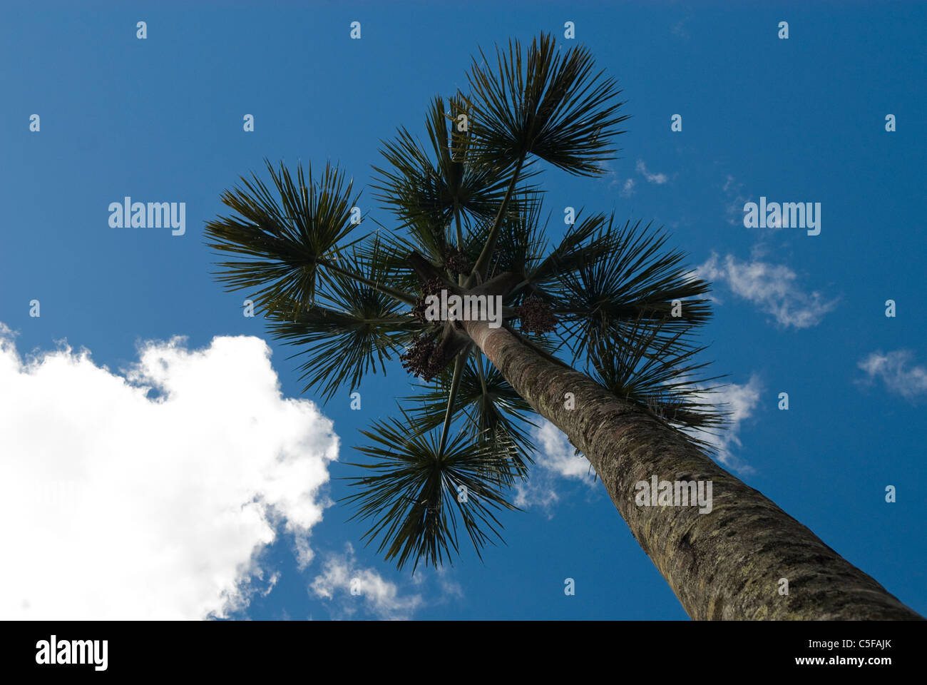 Chapada dos Veadeiros, Brazil. Babassu palm tree (Orbignya speciosa, Attralea speciosa). - Stock Image