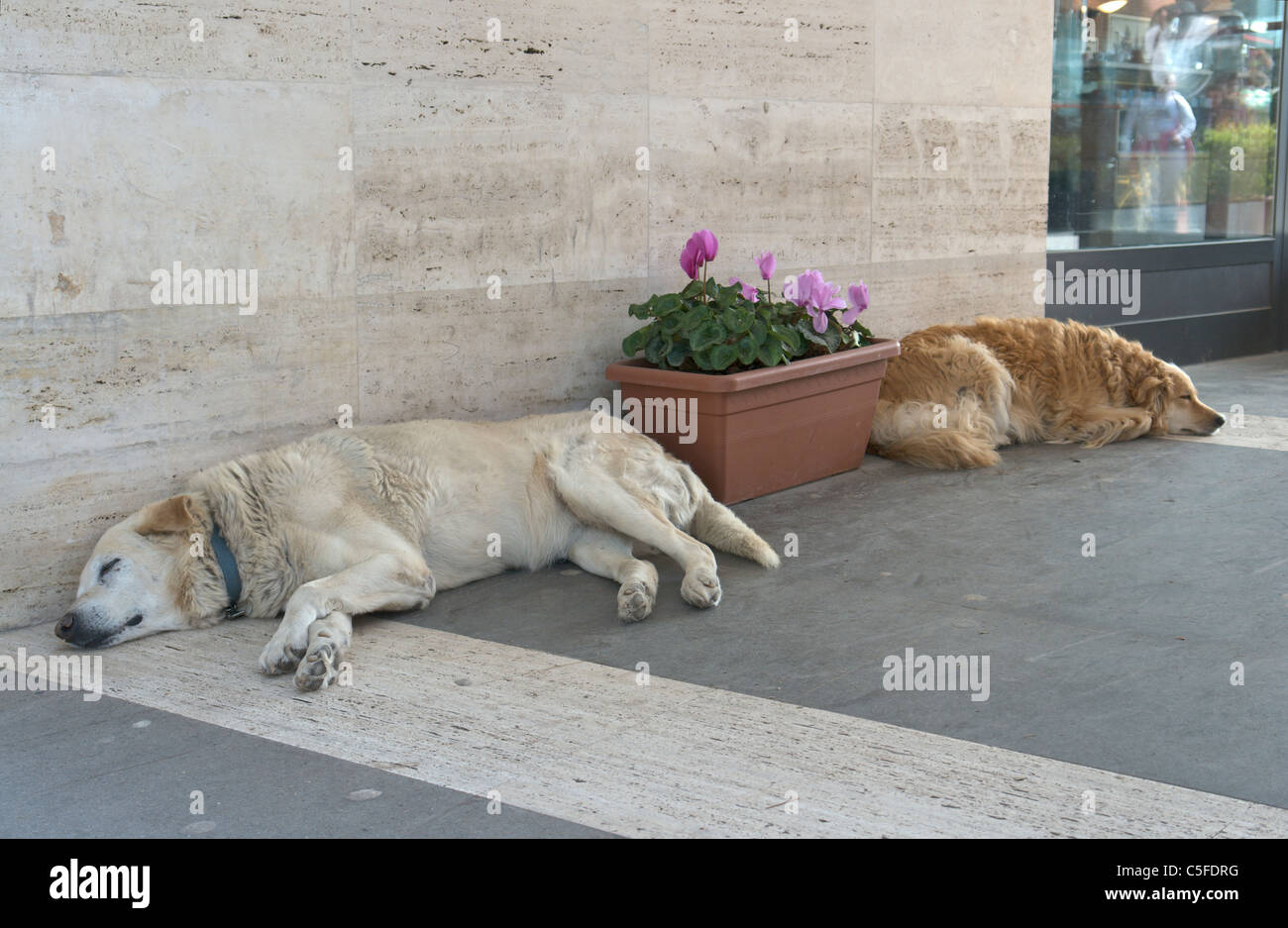 Two sheperd dogs having siesta in the early afternoon - Stock Image