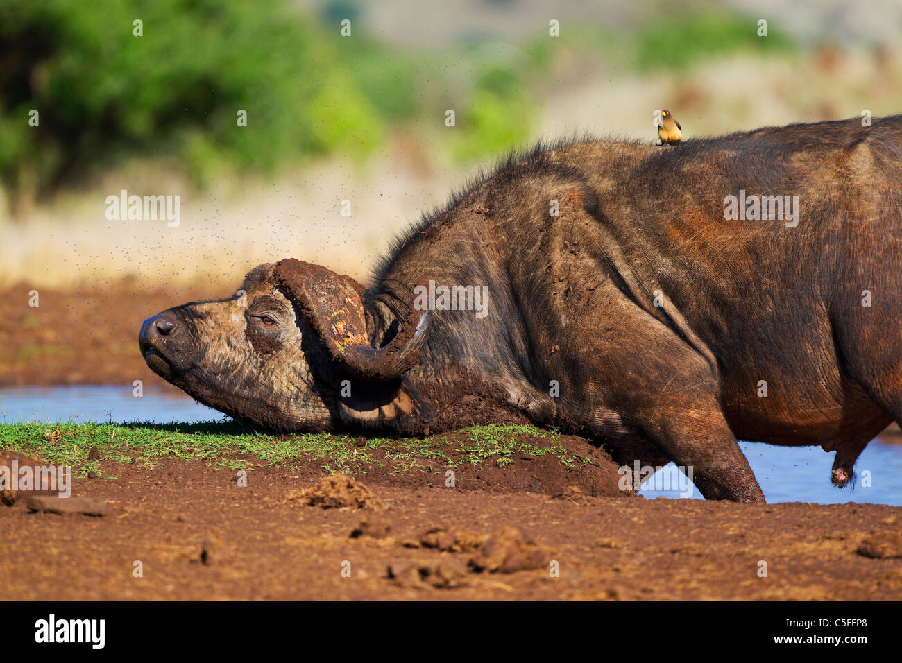 Cape Buffalo (Syncerus caffer) in Kenya - Stock Image