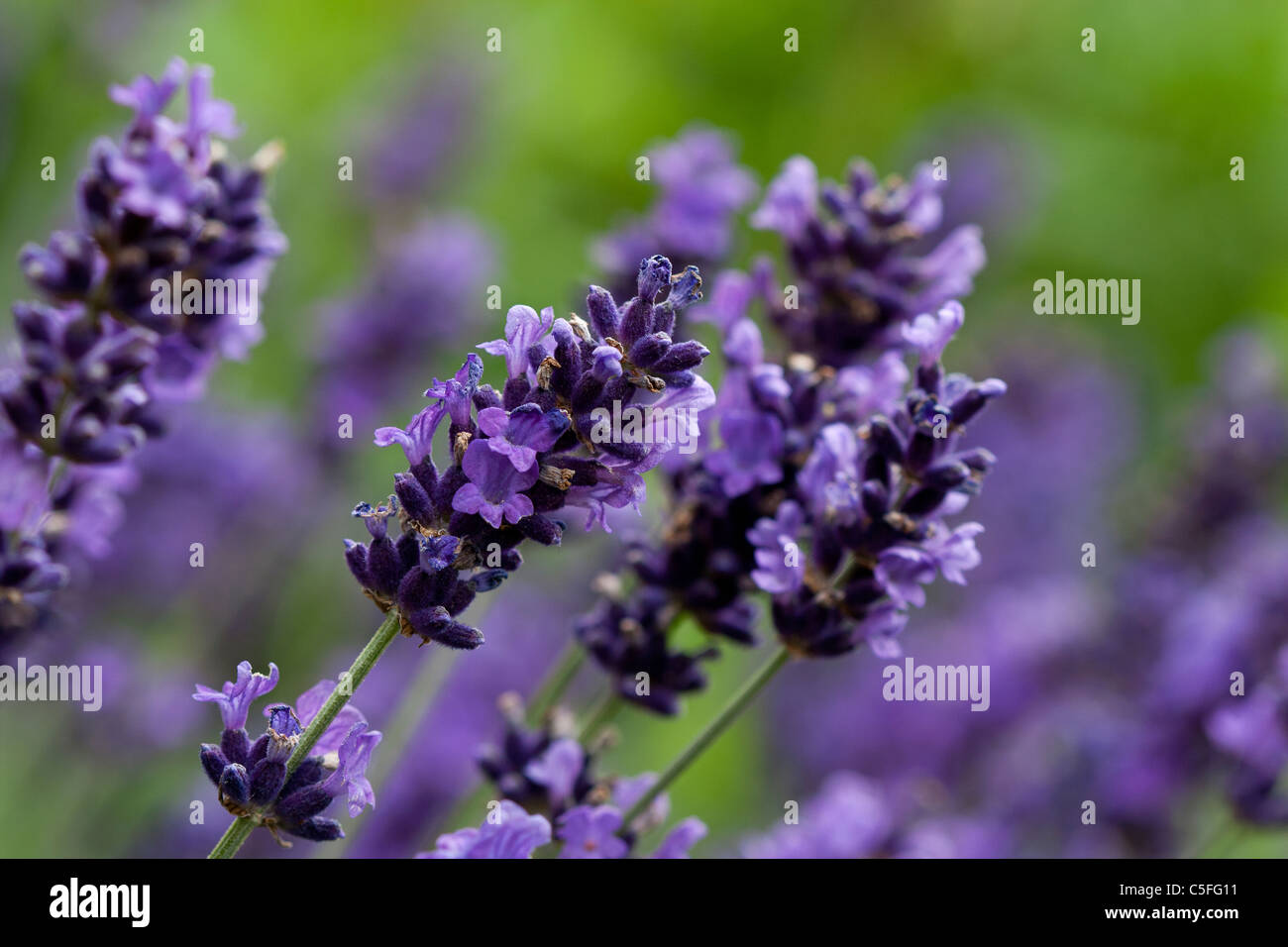 A macro shot of a group of lavender plants. - Stock Image
