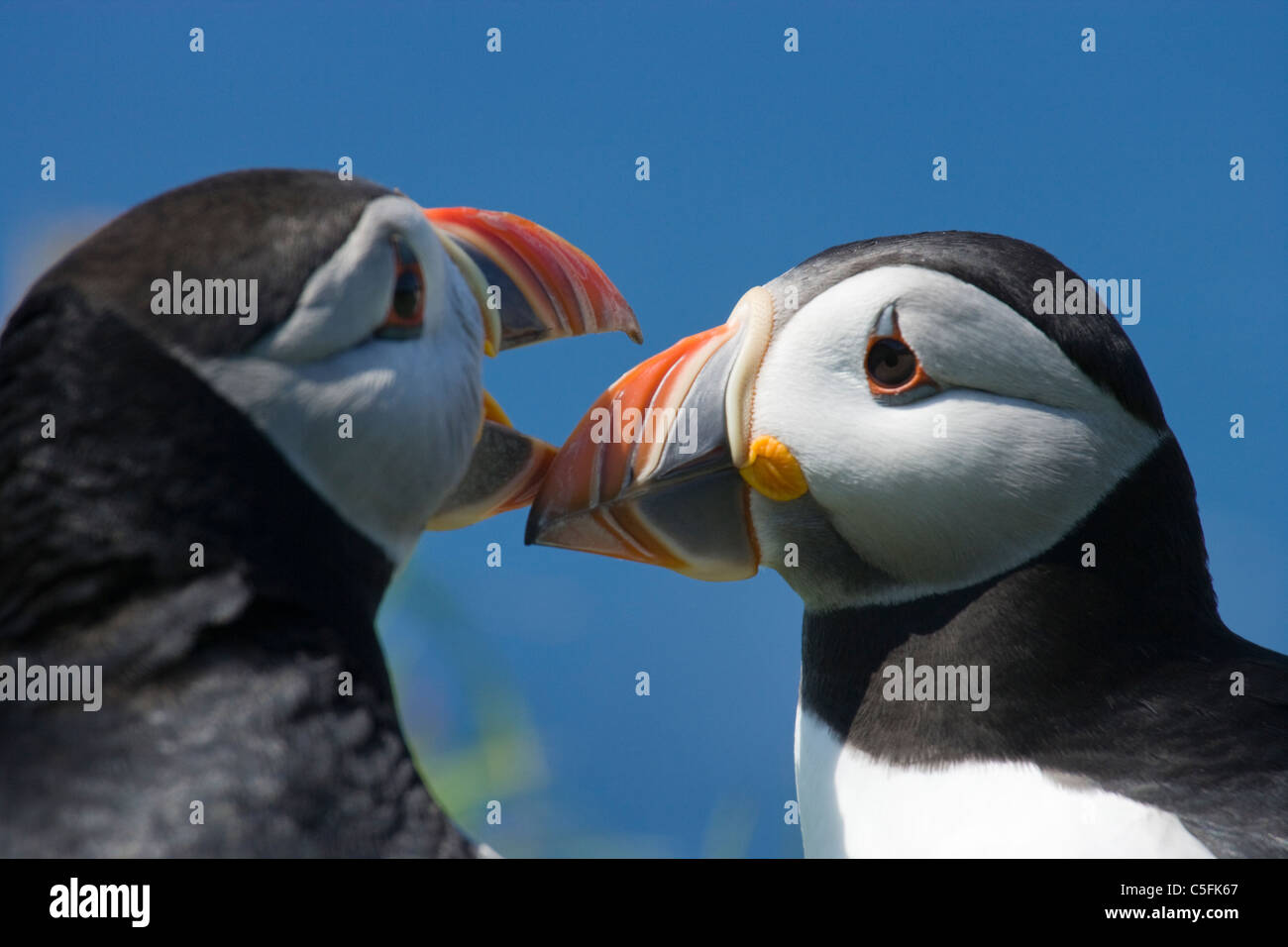Puffins bill tapping courtship, Fratercula arctica, UK. - Stock Image