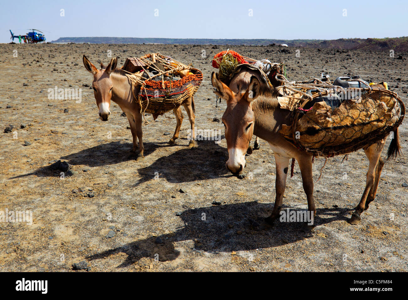 Donkeys at the Koroli springs in the Chalbi desert north of Kenya near the border with Ethiopia. Kenya - Stock Image