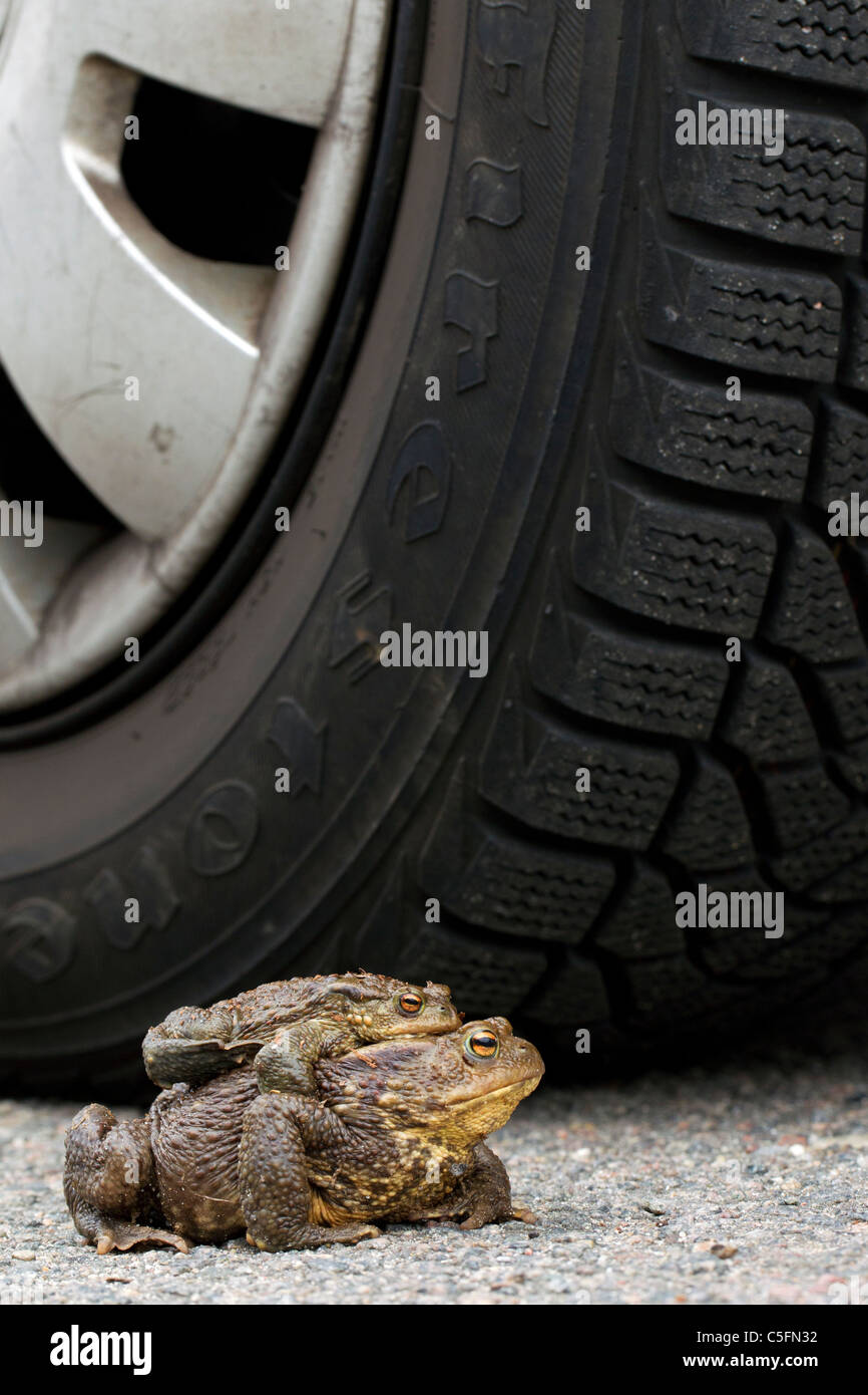 Common Toad / European Toad (Bufo bufo) pair in front of car tire migrating in amplexus on road to breeding pond - Stock Image