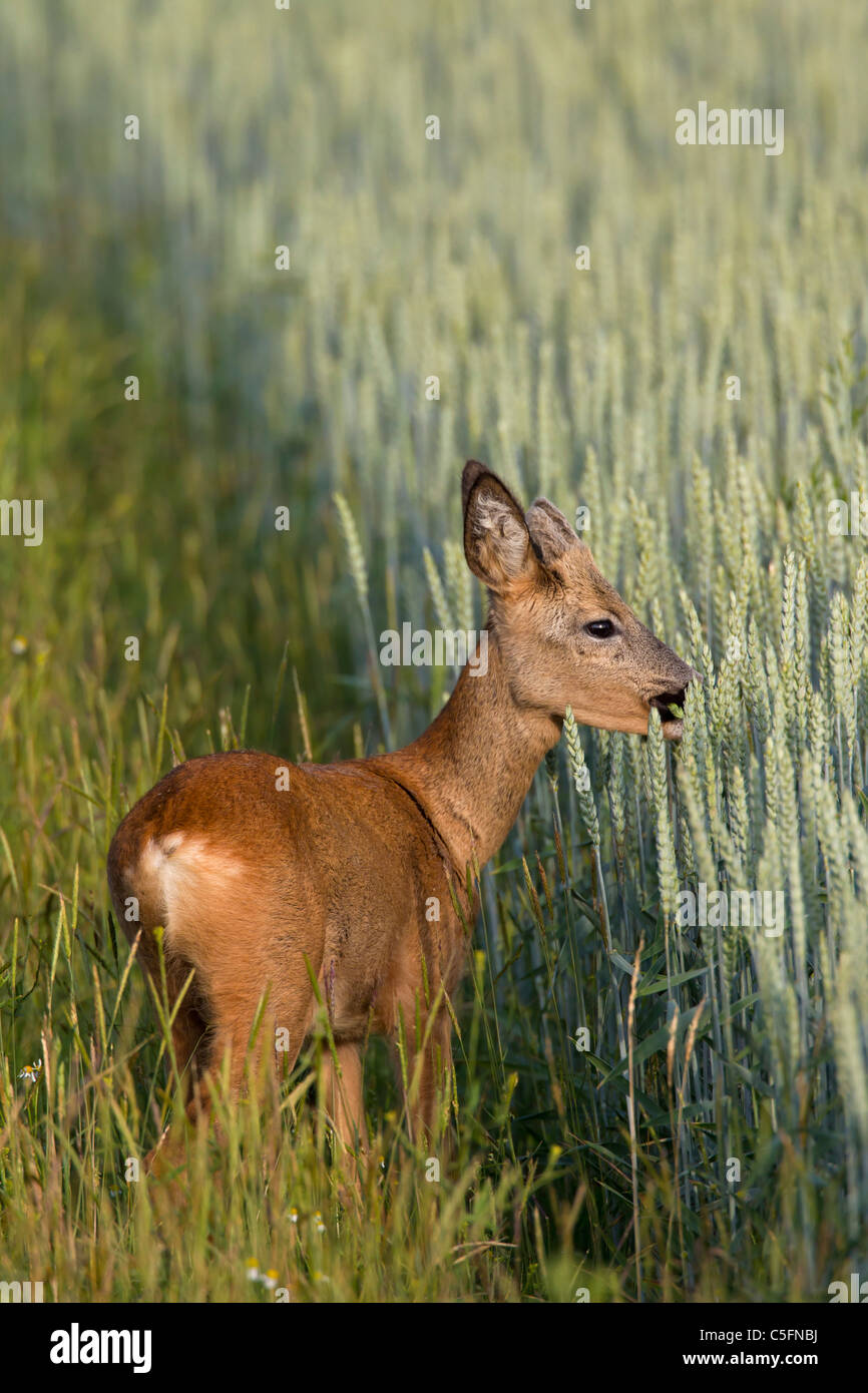 Roe deer (Capreolus capreolus), young buck with antlers covered in velvet in wheat field in spring, Germany - Stock Image