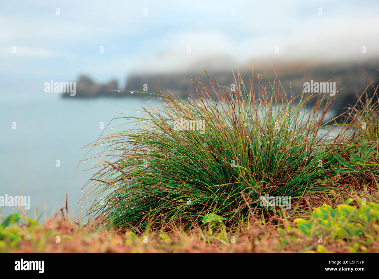 Azores islands endemic flora: Festuca petraea Guthnick. Portuguese name is 'bracel-da-rocha' or 'braceu'. - Stock Image