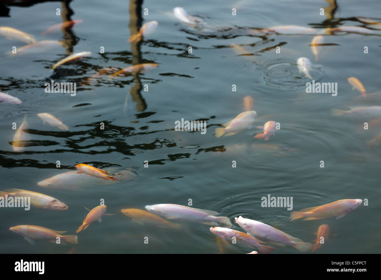 tropical fish farm in lake fresh water, thailand Stock Photo