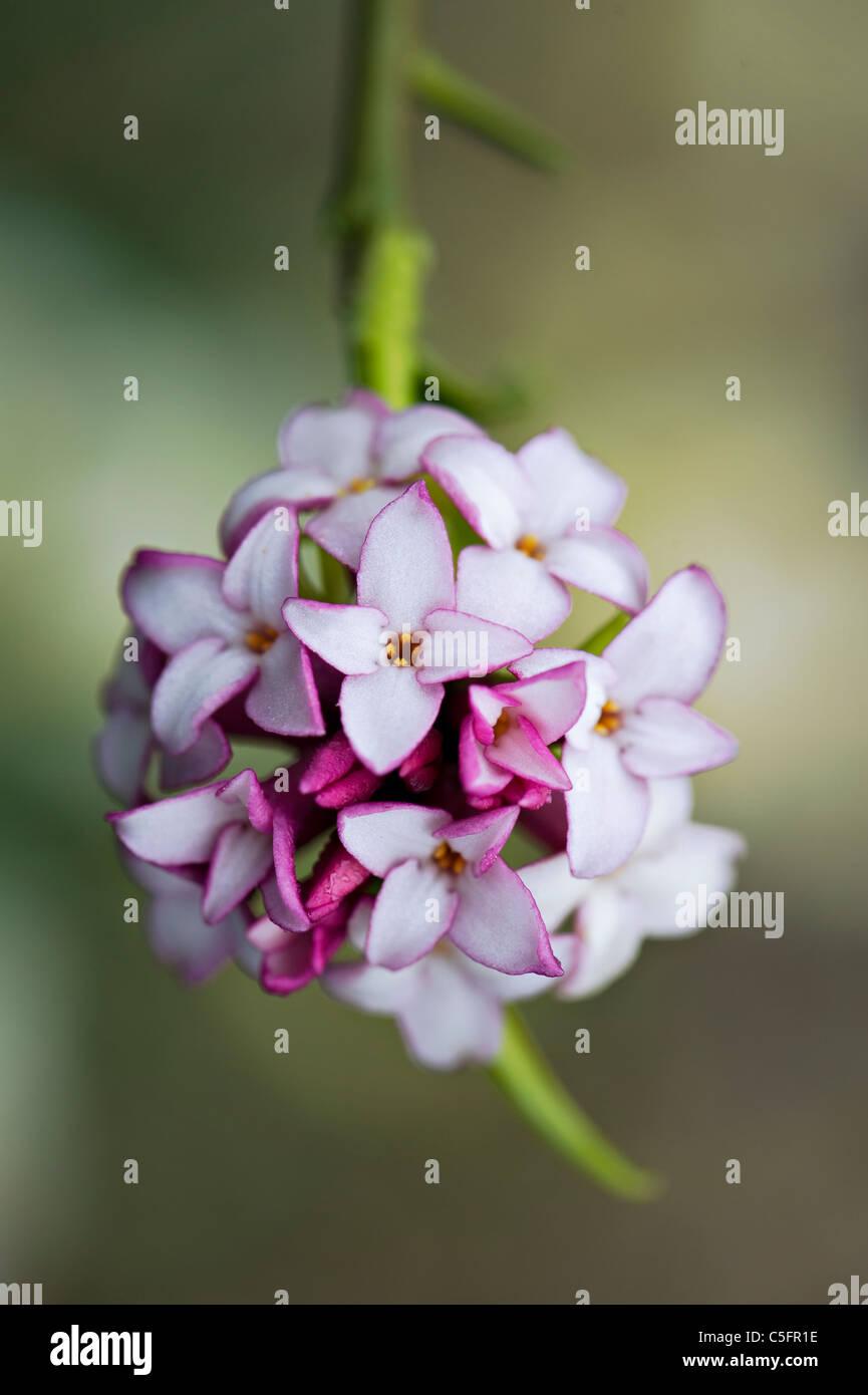 Close-up image of a single pink Daphne bholua 'Jacqueline Postill' flower - Stock Image