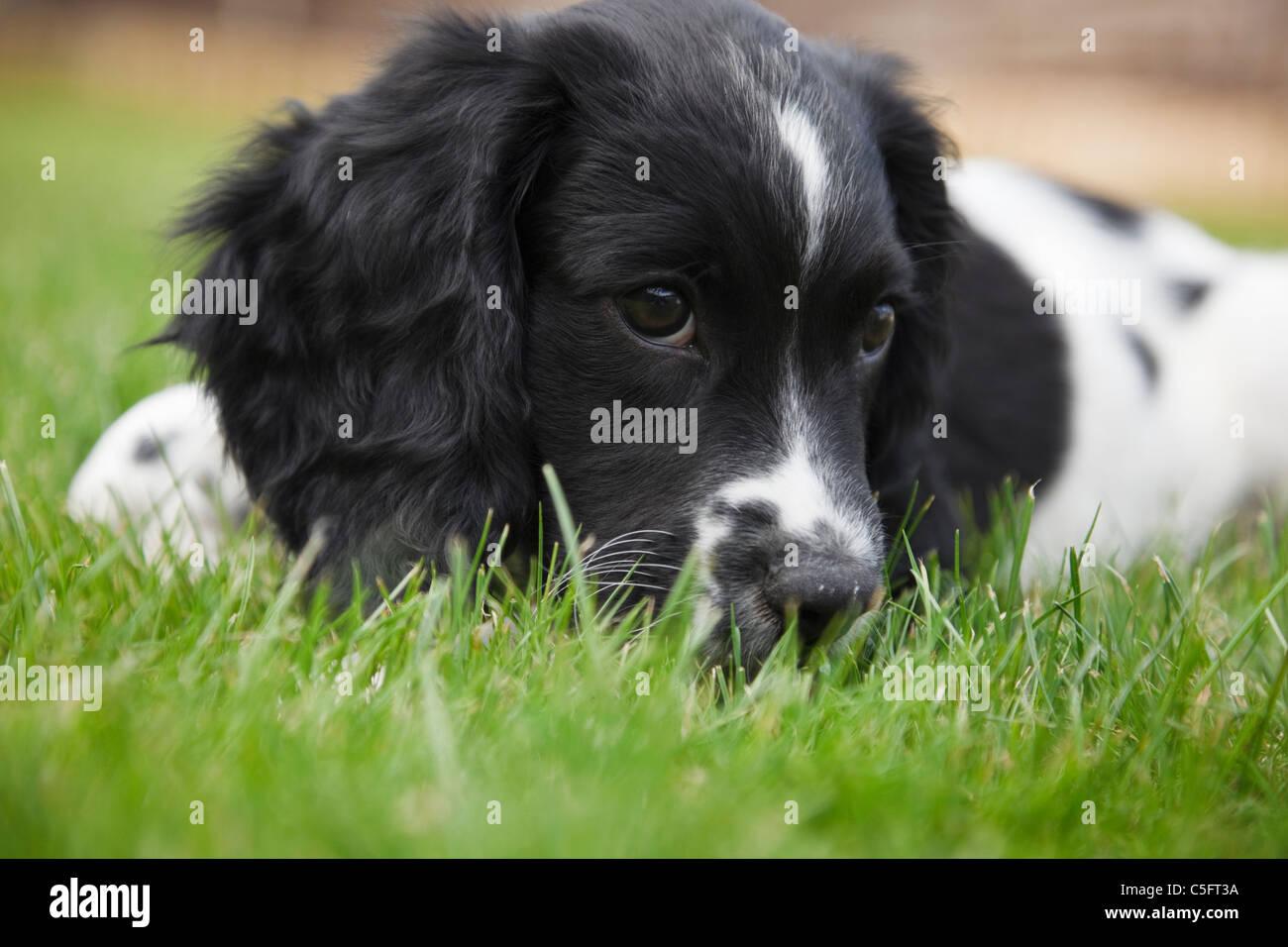 Spaniel Puppy Stock Photos & Spaniel Puppy Stock Images - Alamy