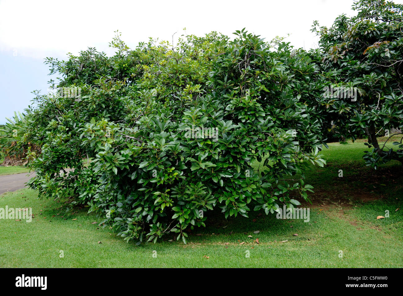 Avocado Tree Kona Hawaii Pacific Ocean Noni Stock Photo
