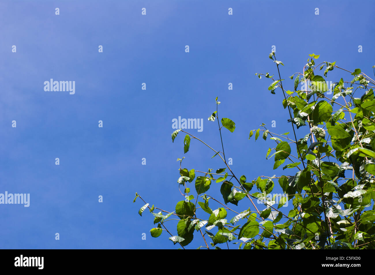 Expanse of blue summer sky with green leaves of birch tree in foreground - Stock Image