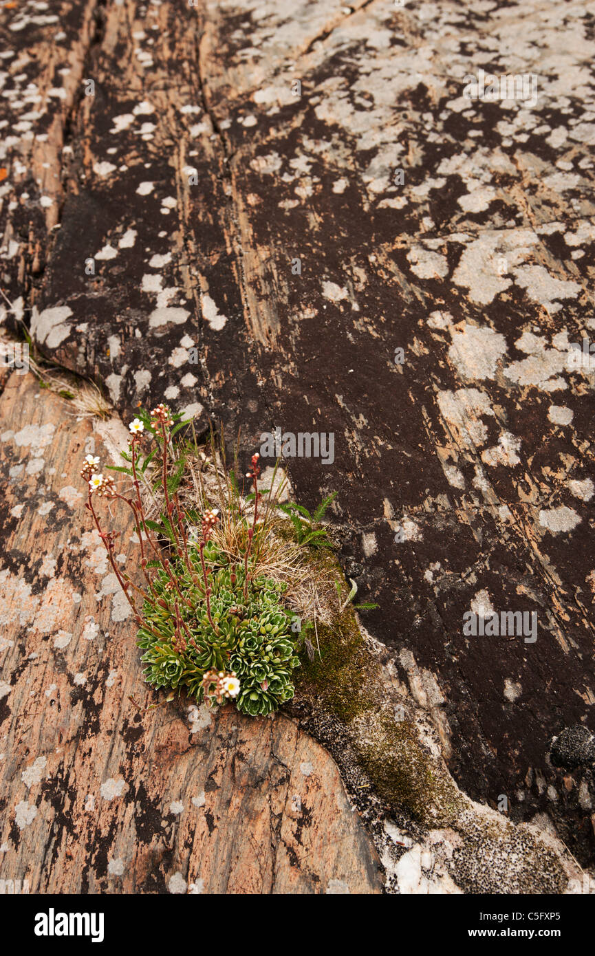 Arctic plants cling to a crack in the granite rock in the arctic microclimate around Lake Superior. - Stock Image