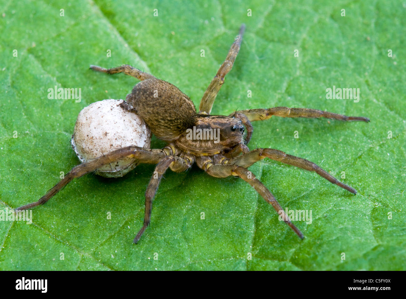 Wolf Spider Lycosa or Hogna frondicola carrying egg sac Michigan USA - Stock Image