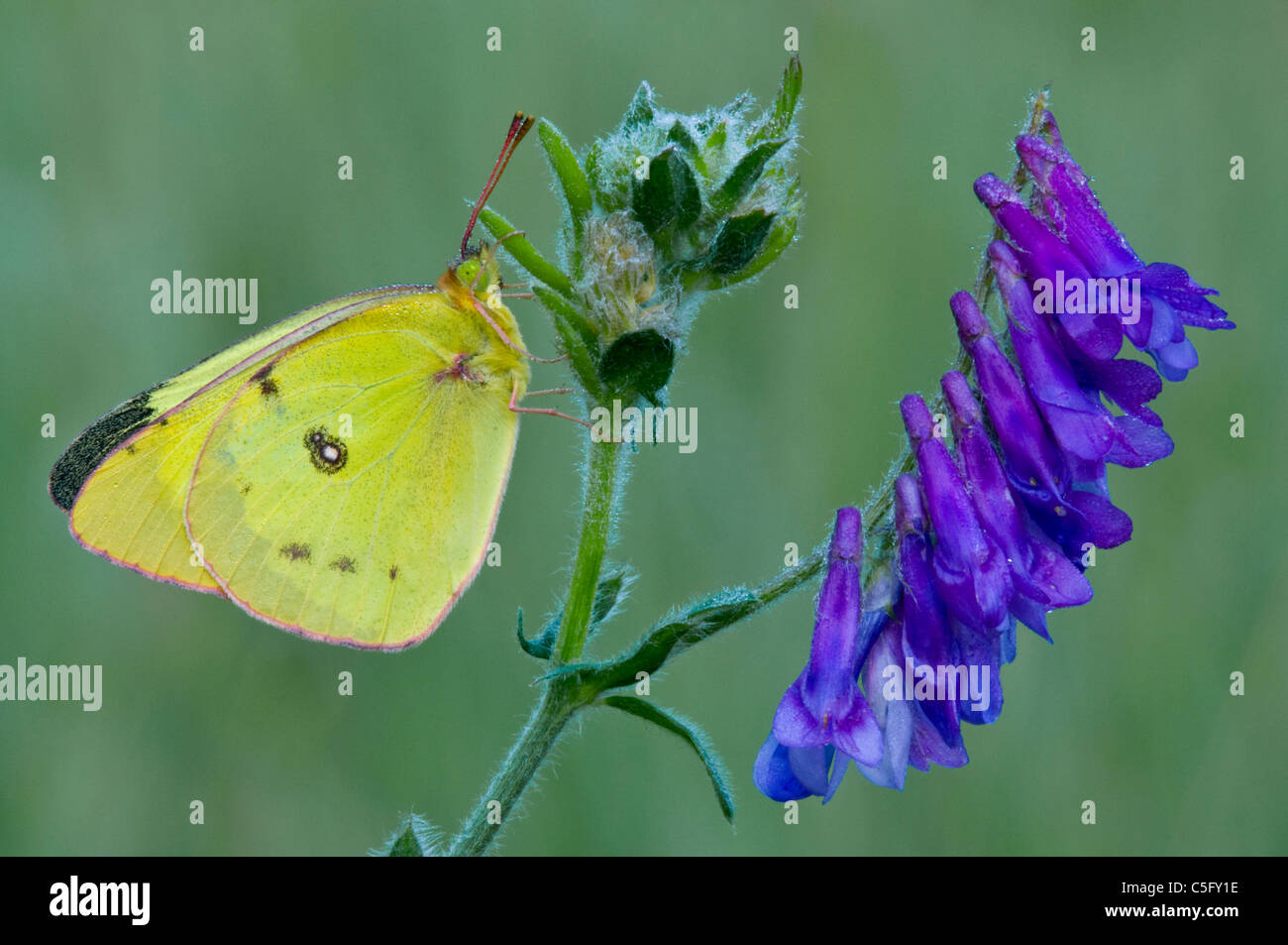 Clouded Sulphur Butterfly Colias philodice perched on Cow Vetch Vicia cracca Michigan USA - Stock Image