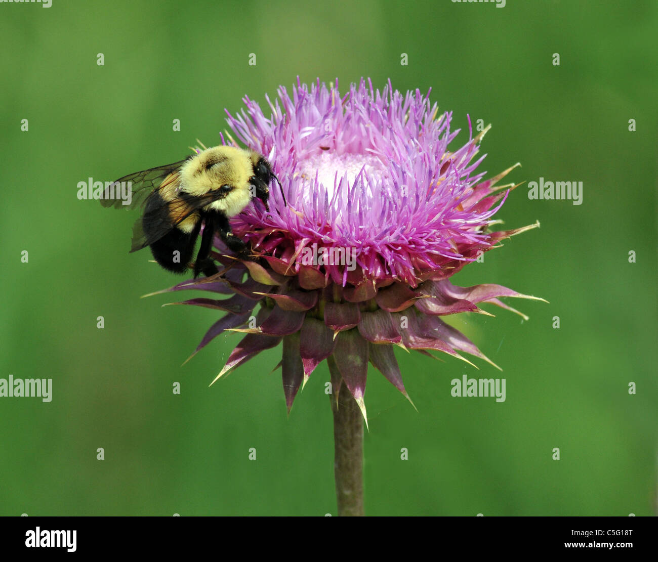 The Thistle is considered a weed but this shows it's flowering beauty and usefulness. - Stock Image