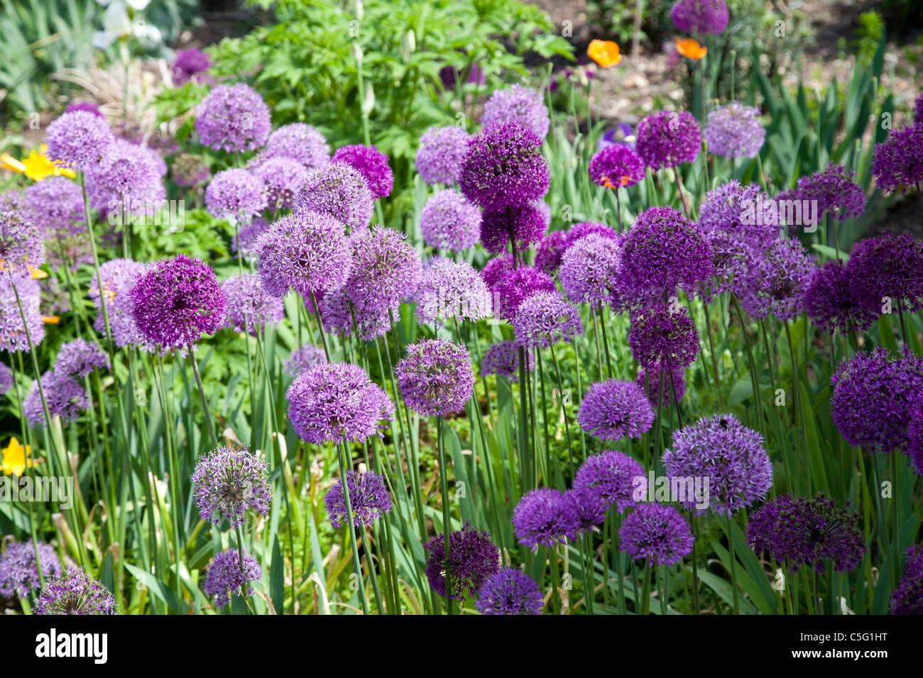 Allium aflatunense - Stock Image