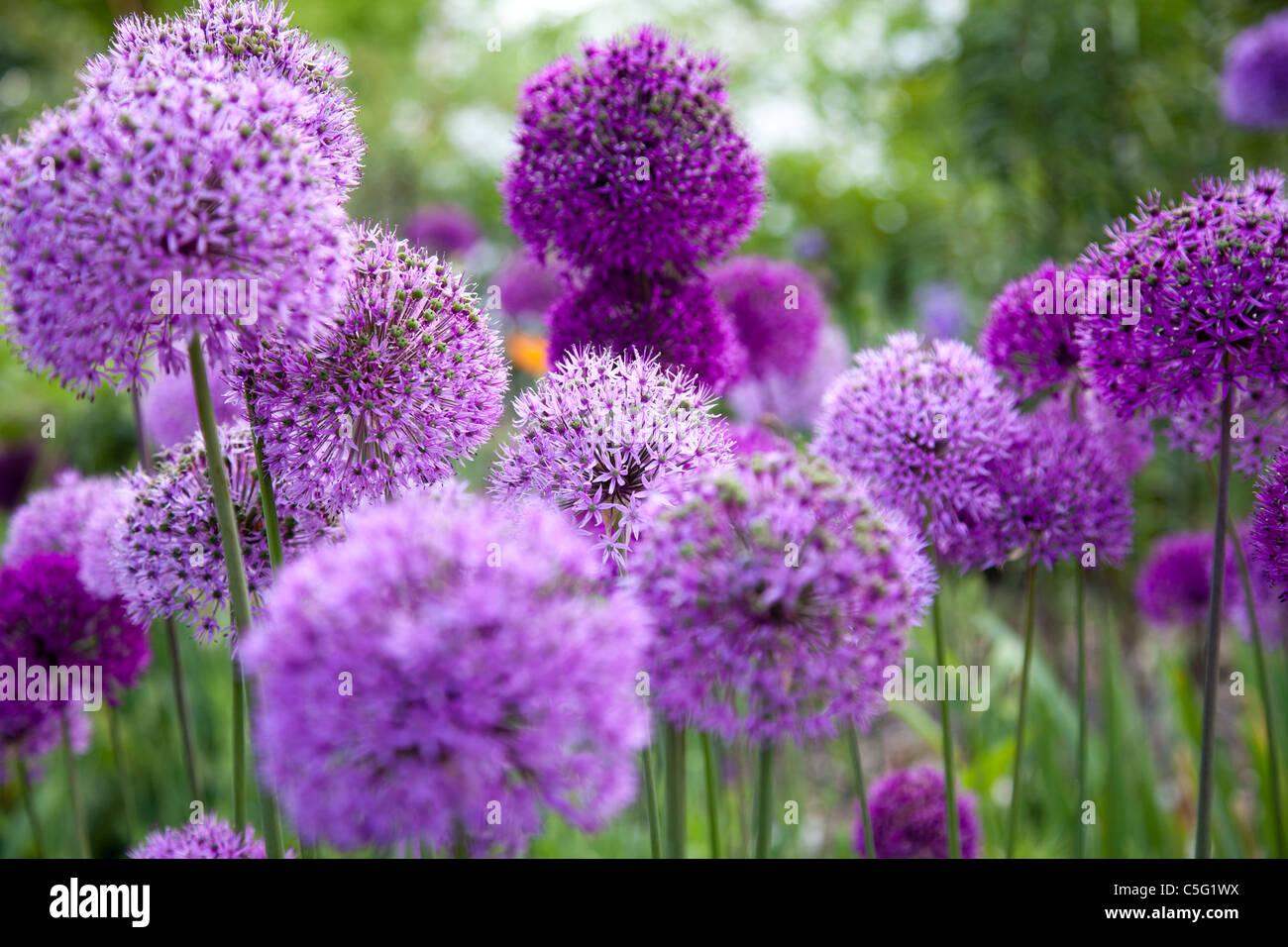 Allium aflatuense - Stock Image
