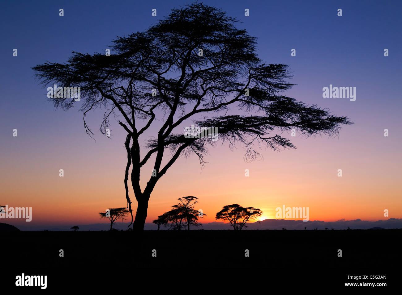 Acacia tree Northern Kenya, Kenya - Stock Image
