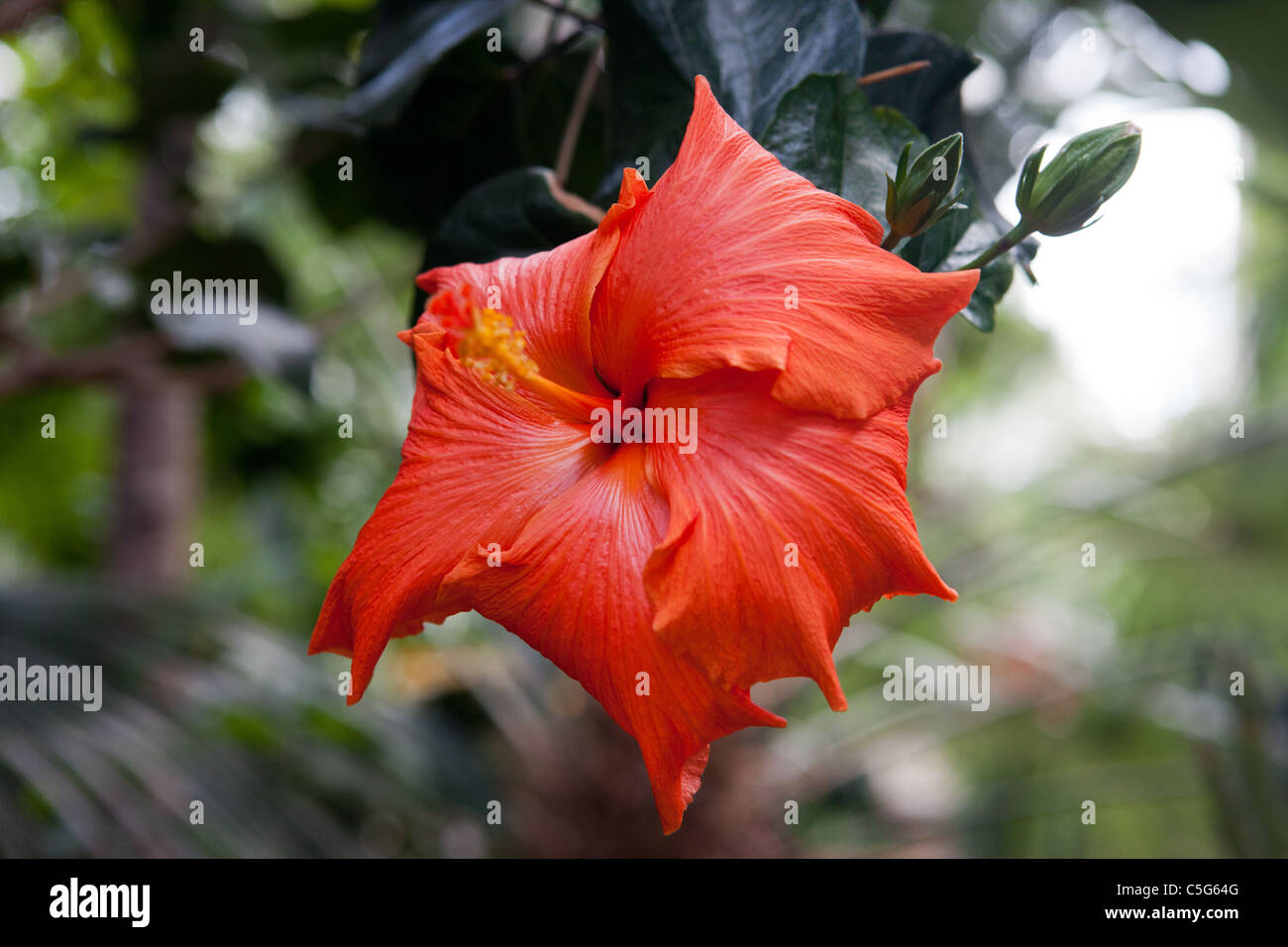 The Red Hibiscus Flower - Stock Image