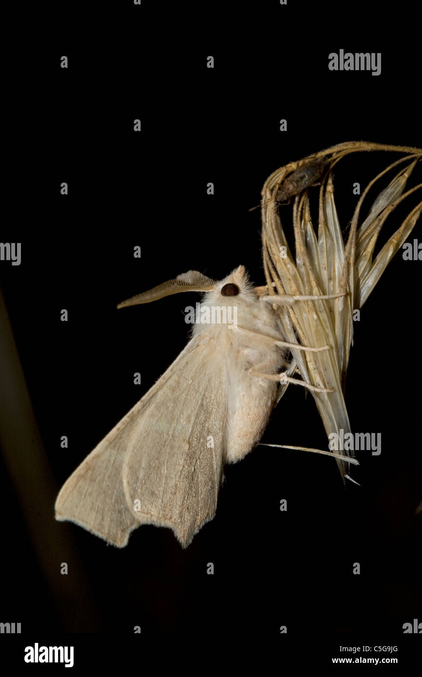 Clouded August Thorn (Ennomus quercaria) moth - Stock Image