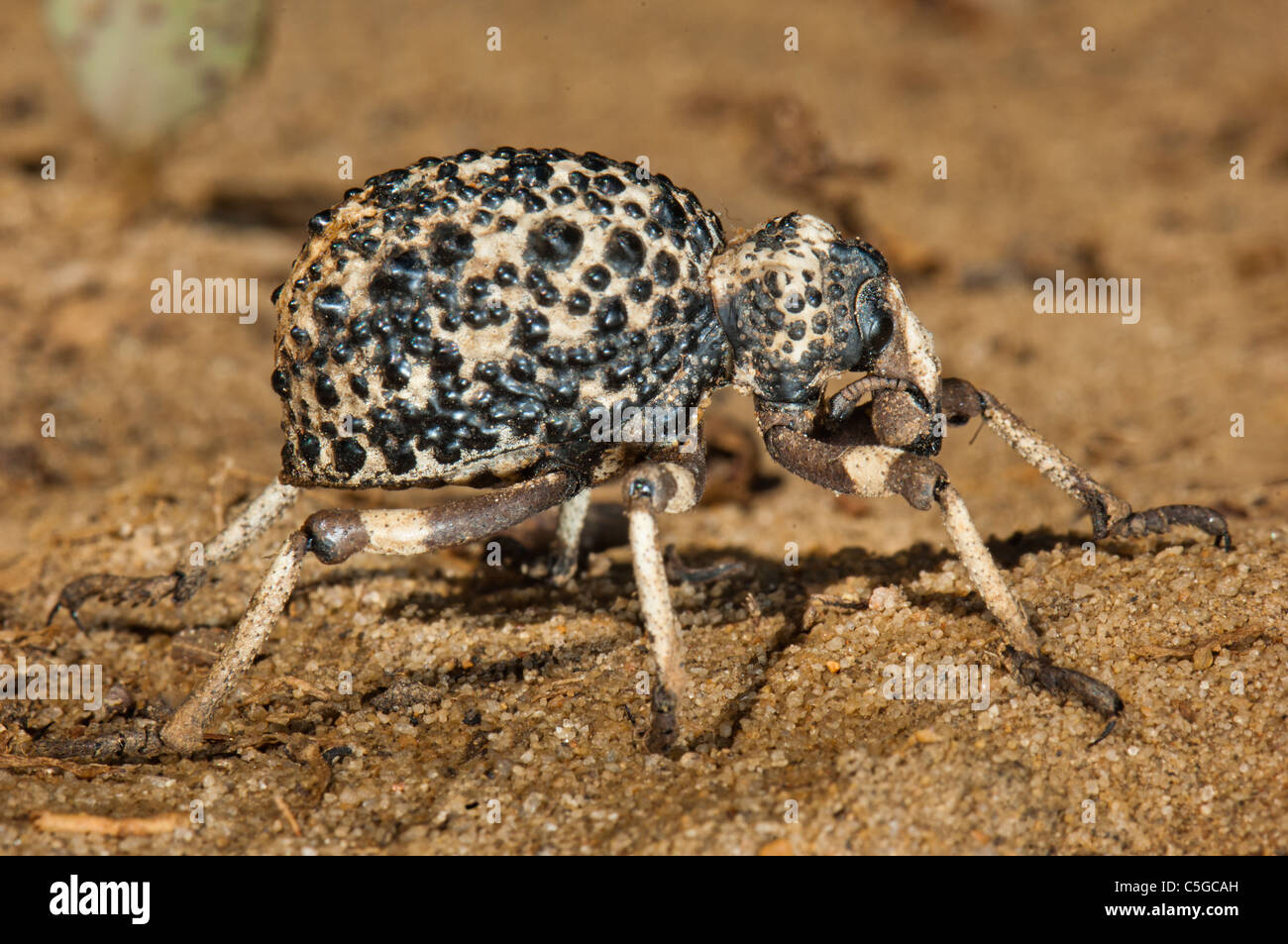 wart warty Weevil of madagascar big 2 inch insect Curculionoidea on ground animal africa brown brownly huge giant - Stock Image