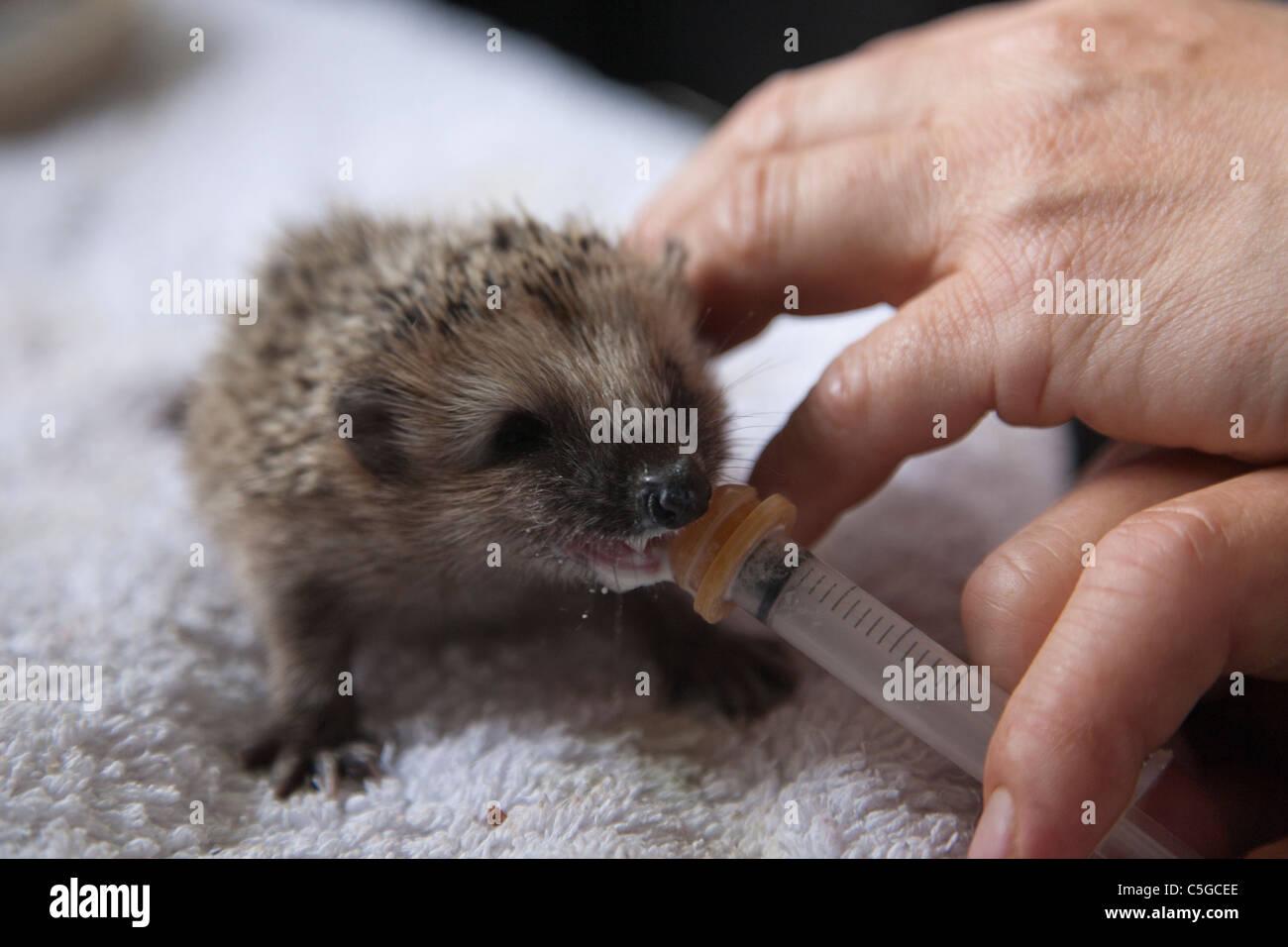 Feeding a four week old hedgehog baby - Stock Image