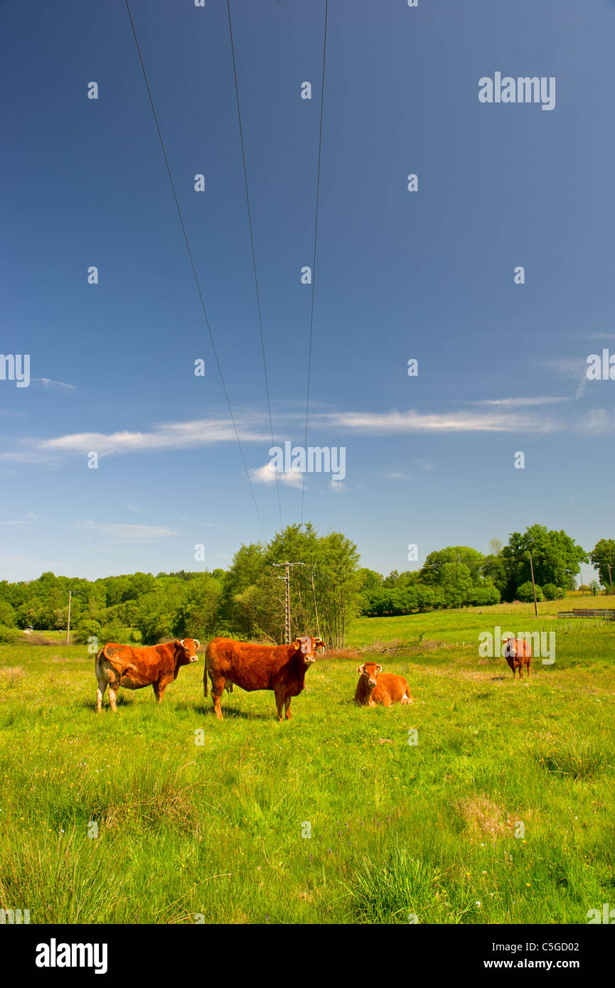 Brown Limousin cow as typical breed in France - Stock Image
